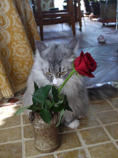 ノルウェージャンのウーラちゃんと赤いバラ。_e0356356_14272262.jpg