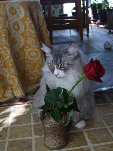 ノルウェージャンのウーラちゃんと赤いバラ。_e0356356_14275052.jpg