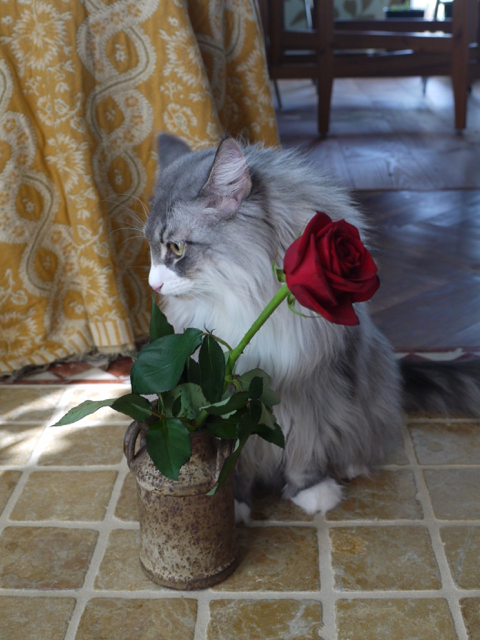 ノルウェージャンのウーラちゃんと赤いバラ。_e0356356_14281352.jpg
