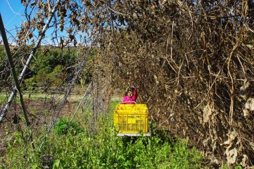 花豆の収穫_c0110869_17491884.jpg