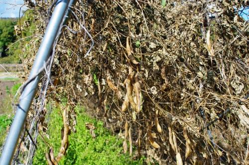 花豆の収穫_c0110869_17494471.jpg