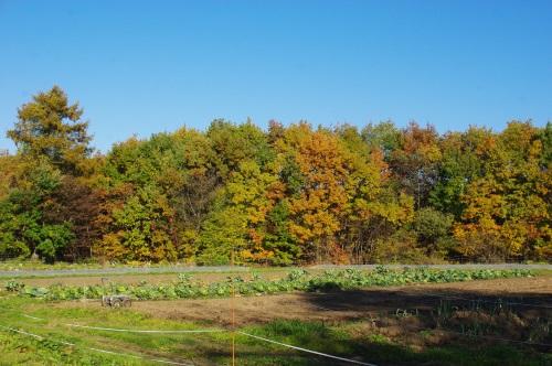花豆の収穫_c0110869_17495433.jpg