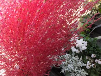 オークリーフ(赤いコキア、白い南京ハゼ)_f0049672_17341512.jpg