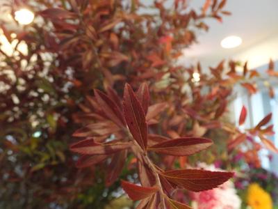 オークリーフ(赤いコキア、白い南京ハゼ)_f0049672_17505561.jpg