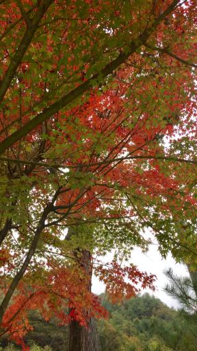紅葉の和菓子_c0223630_16345174.jpg