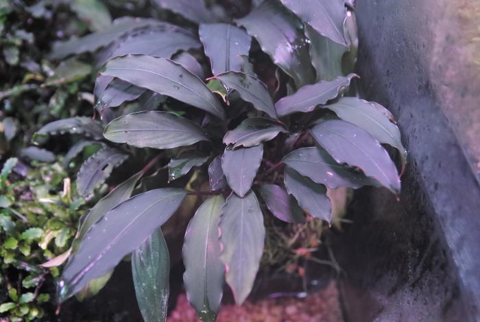 "Bucephalandra motleyana \""Serian\""_a0194582_18022007.jpg"