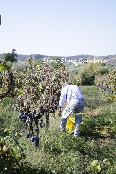 無農薬ブドウの収穫@カラブリア_c0171485_703663.jpg