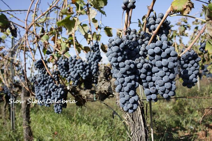 無農薬ブドウの収穫@カラブリア_c0171485_705845.jpg
