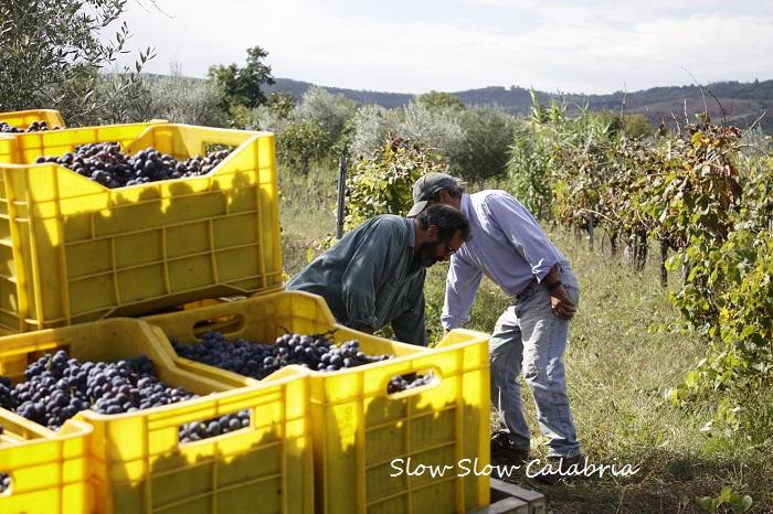 無農薬ブドウの収穫@カラブリア_c0171485_71259.jpg