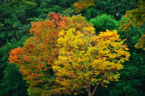 国営武蔵丘陵森林公園の紅葉と赤蕎麦の花1_a0263109_20515756.jpg