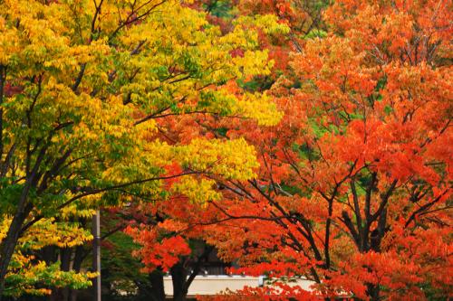 国営武蔵丘陵森林公園の紅葉と赤蕎麦の花1_a0263109_20515945.jpg