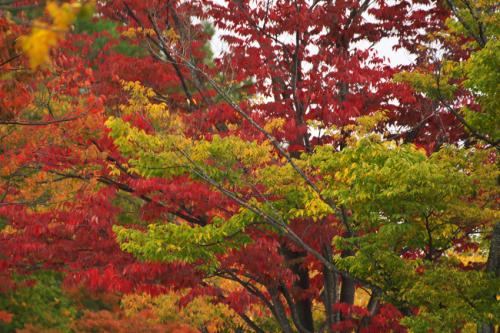 国営武蔵丘陵森林公園の紅葉と赤蕎麦の花1_a0263109_20520038.jpg