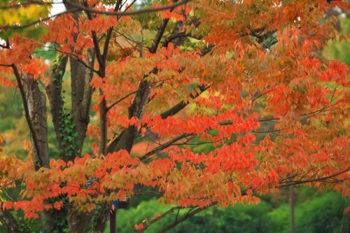国営武蔵丘陵森林公園の紅葉と赤蕎麦の花1_a0263109_20520146.jpg