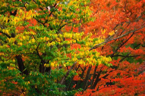 国営武蔵丘陵森林公園の紅葉と赤蕎麦の花1_a0263109_20520271.jpg