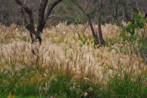 国営武蔵丘陵森林公園の紅葉と赤蕎麦の花1_a0263109_20520356.jpg