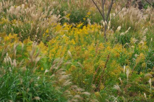 国営武蔵丘陵森林公園の紅葉と赤蕎麦の花1_a0263109_20520415.jpg