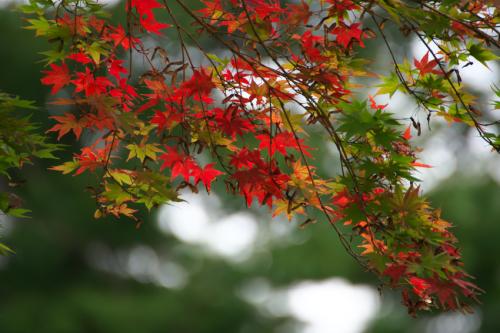 国営武蔵丘陵森林公園の紅葉と赤蕎麦の花1_a0263109_20543954.jpg