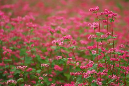 国営武蔵丘陵森林公園の紅葉と赤蕎麦の花1_a0263109_20544185.jpg