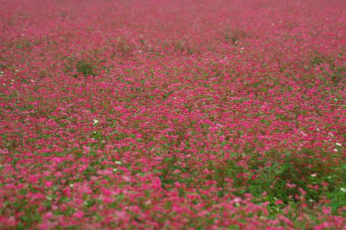 国営武蔵丘陵森林公園の紅葉と赤蕎麦の花1_a0263109_20544459.jpg