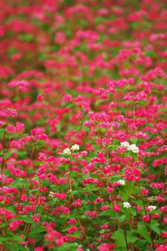 国営武蔵丘陵森林公園の紅葉と赤蕎麦の花1_a0263109_20544597.jpg