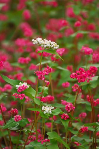 国営武蔵丘陵森林公園の紅葉と赤蕎麦の花1_a0263109_20544618.jpg