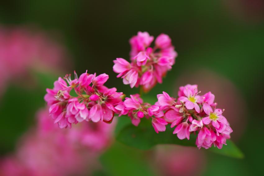 国営武蔵丘陵森林公園の紅葉と赤蕎麦の花1_a0263109_20544712.jpg