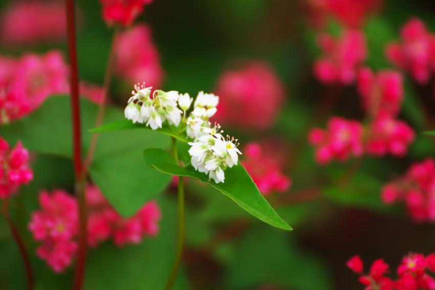 国営武蔵丘陵森林公園の紅葉と赤蕎麦の花1_a0263109_20544735.jpg