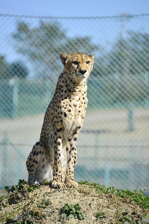 2016.10.16 岩手サファリパーク☆チーターのヒマワリとハヤテ【Cheetah】_f0250322_19341236.jpg