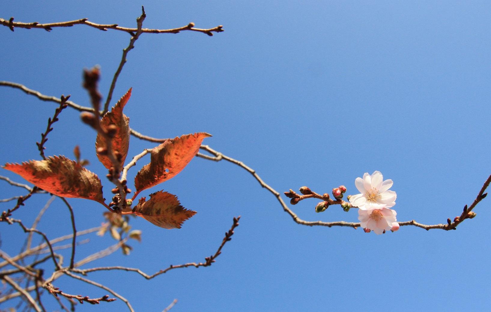 冬桜_c0097137_11192344.jpg