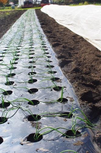 遅れたタマネギ苗を植える_c0110869_11312736.jpg
