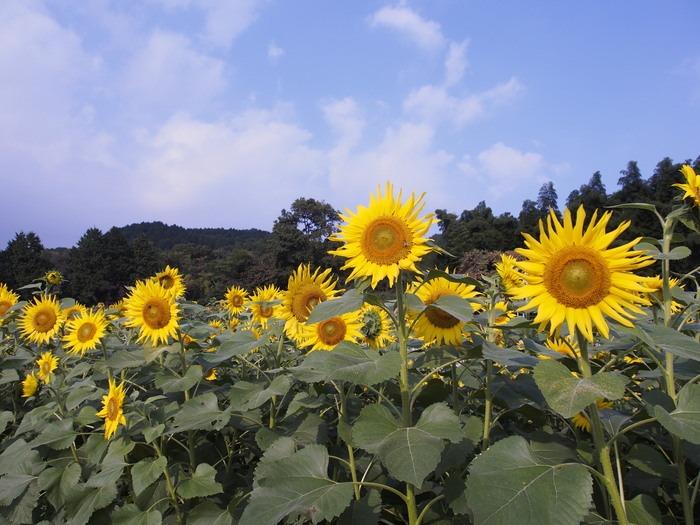 ひまわり園_a0149488_18131098.jpg