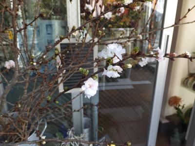 オークリーフ(十月桜)_f0049672_1642262.jpg