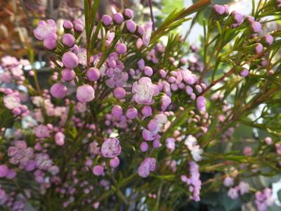 オークリーフ(十月桜)_f0049672_188611.jpg