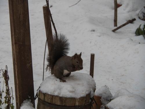 11月上旬・雪景色とカラマツの紅葉、そして・・エゾリス君がコラボ!_f0276498_23072315.jpg