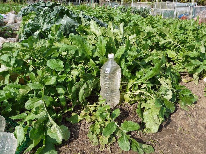 種蒔きから2ヶ月半、ペットボトル超え⑥鎌倉だいこん栽培記録11・7_c0014967_1810818.jpg