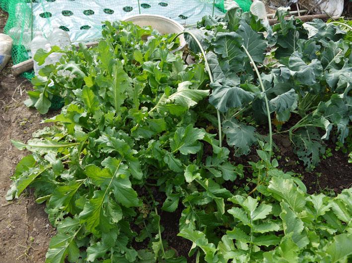 種蒔きから2ヶ月半、ペットボトル超え⑥鎌倉だいこん栽培記録11・7_c0014967_18112180.jpg