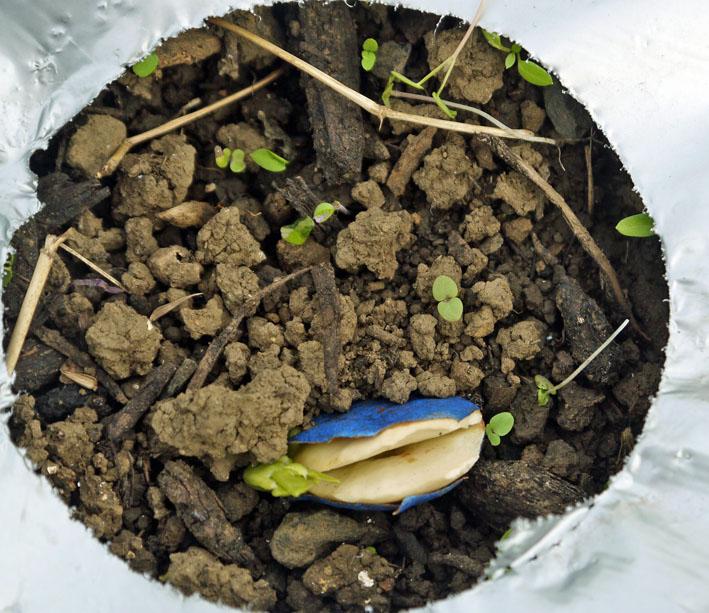 貴重な聖護院ダイコン収穫、空豆、エンドウ発芽11・4_c0014967_20343912.jpg