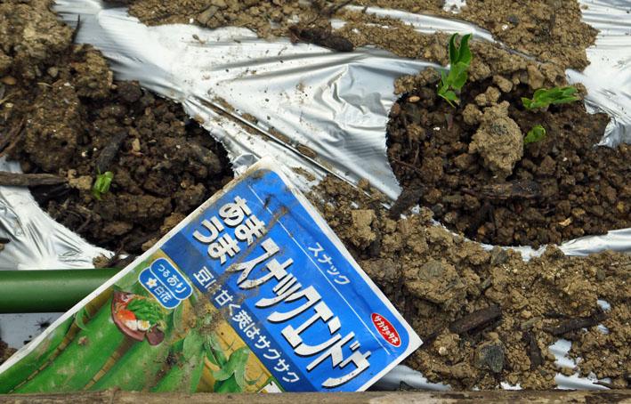 貴重な聖護院ダイコン収穫、空豆、エンドウ発芽11・4_c0014967_20352126.jpg
