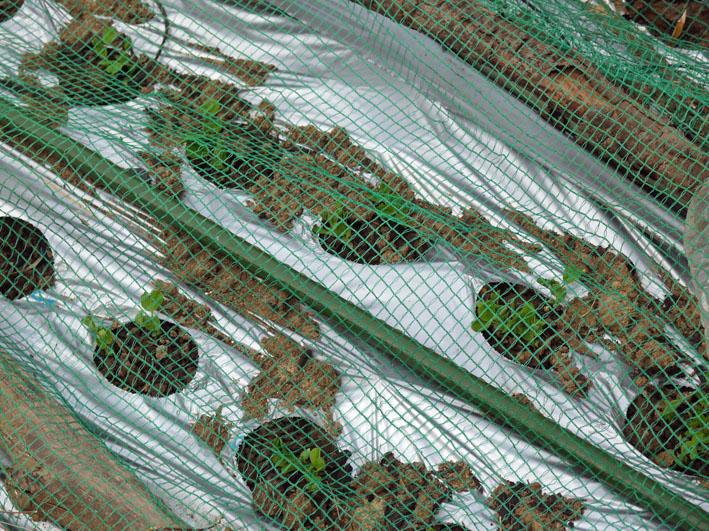 貴重な聖護院ダイコン収穫、空豆、エンドウ発芽11・4_c0014967_20354474.jpg