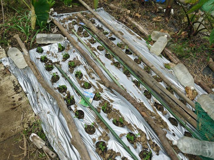 貴重な聖護院ダイコン収穫、空豆、エンドウ発芽11・4_c0014967_20355552.jpg