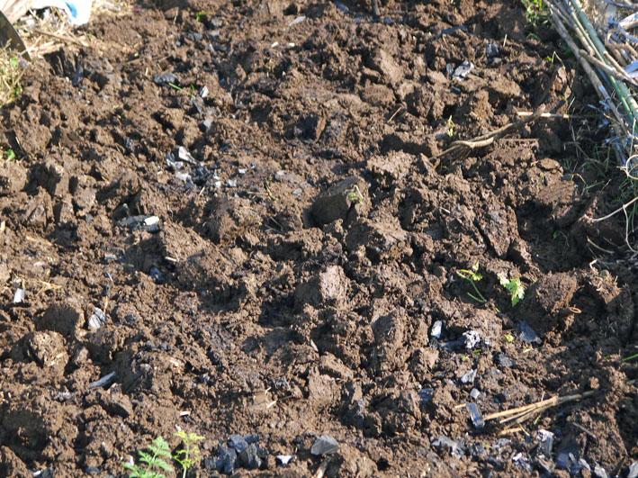 貴重な聖護院ダイコン収穫、空豆、エンドウ発芽11・4_c0014967_20384476.jpg