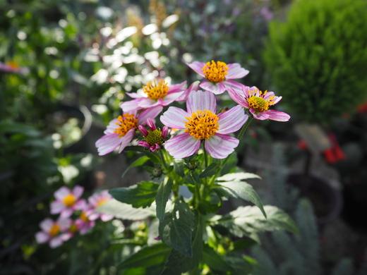 秋の「べっぴんさん」植物_f0139333_0144531.jpg
