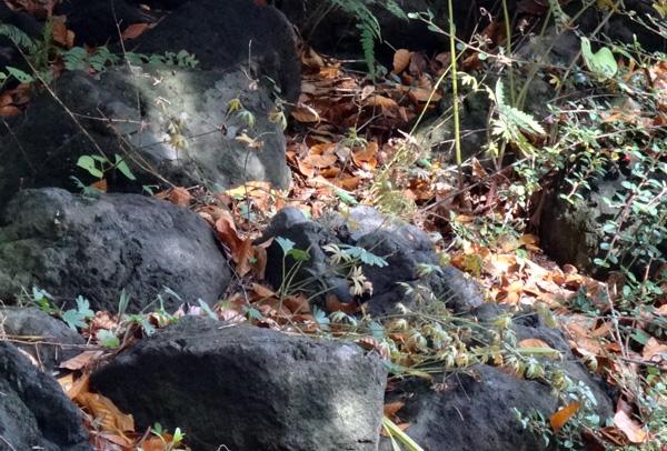 弘前公園の紅葉と原種シクラメンなど_a0136293_1311191.jpg