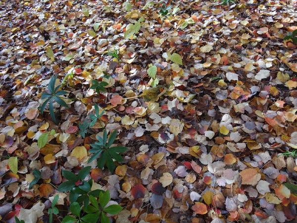 弘前公園の紅葉と原種シクラメンなど_a0136293_1313553.jpg