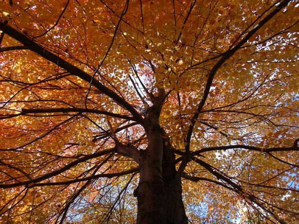 弘前公園の紅葉と原種シクラメンなど_a0136293_13155821.jpg