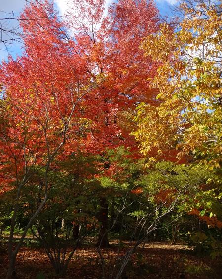 弘前公園の紅葉と原種シクラメンなど_a0136293_13164811.jpg