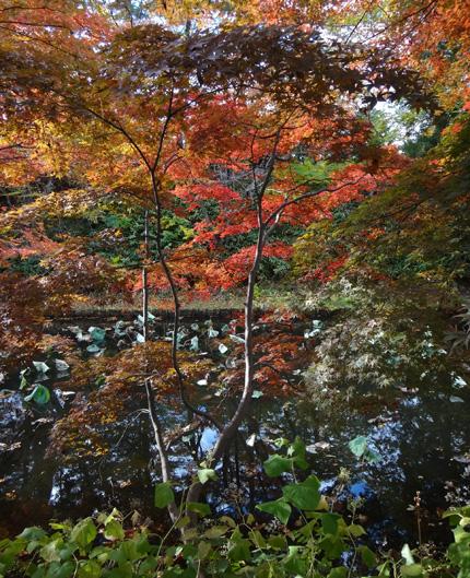 弘前公園の紅葉と原種シクラメンなど_a0136293_13184095.jpg