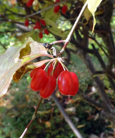 弘前公園の紅葉と原種シクラメンなど_a0136293_13263134.jpg