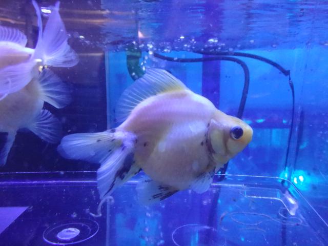 161110 熱帯魚・金魚・淡水魚・水草・観葉植物_f0189122_13142457.jpg