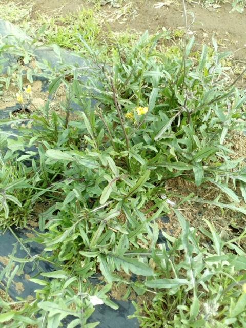 本日はTさんが初めて畑作業に参加されました 某ホテルマンです 数々の野菜達を育てて将来に役立て頂きたいです_c0222448_18122729.jpg
